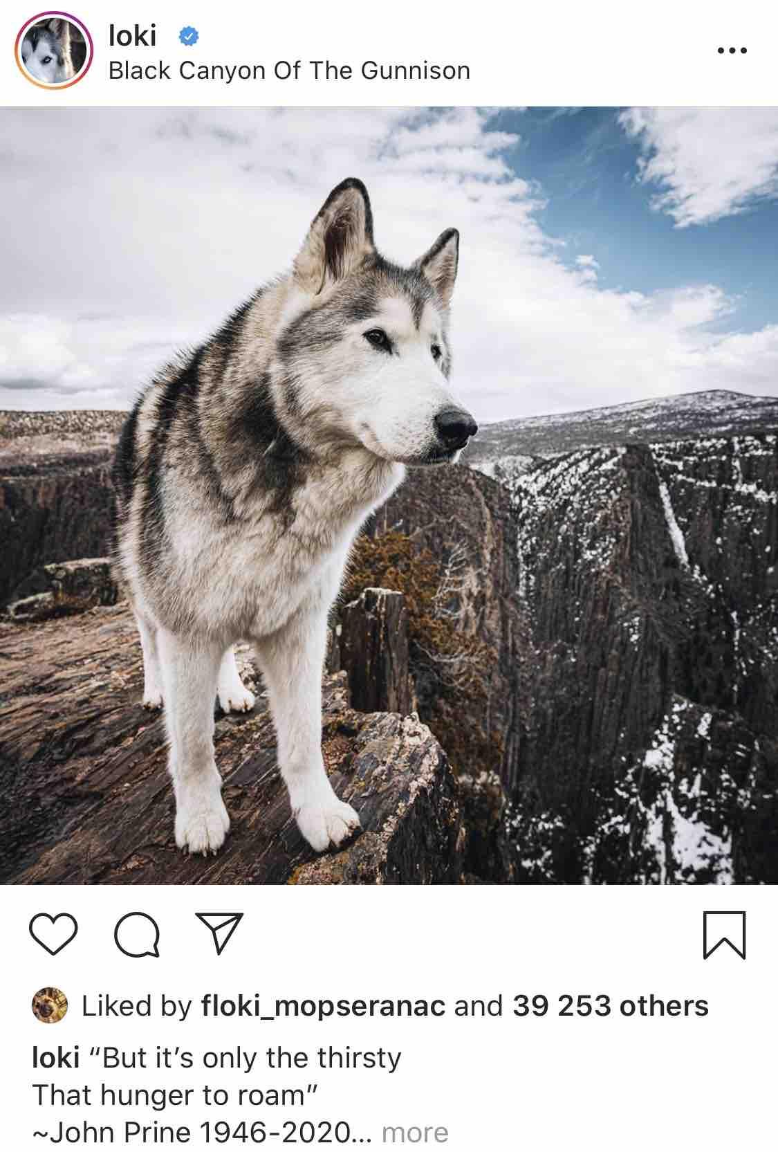 Loki the Wolfdog - Instagram