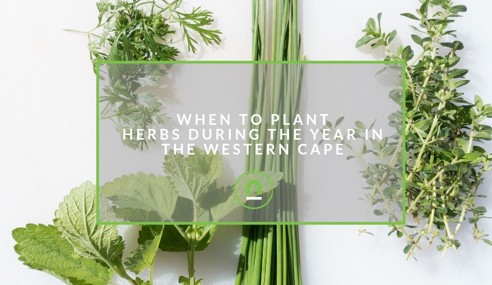 When to plant herbs in the western cape