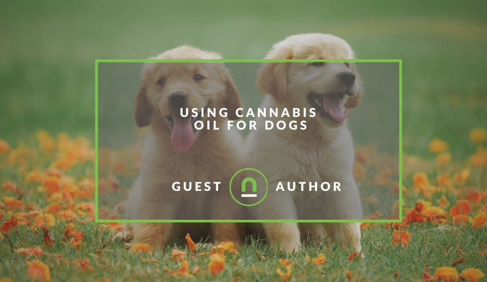 Using Cannabis Oil for Dogs
